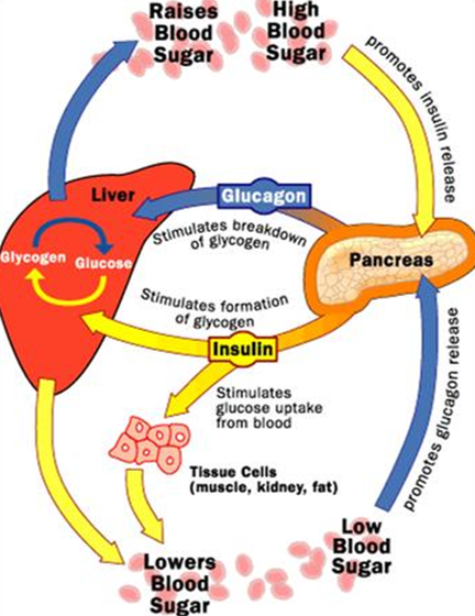 Insulin and Glucagon Blood Glucose Level