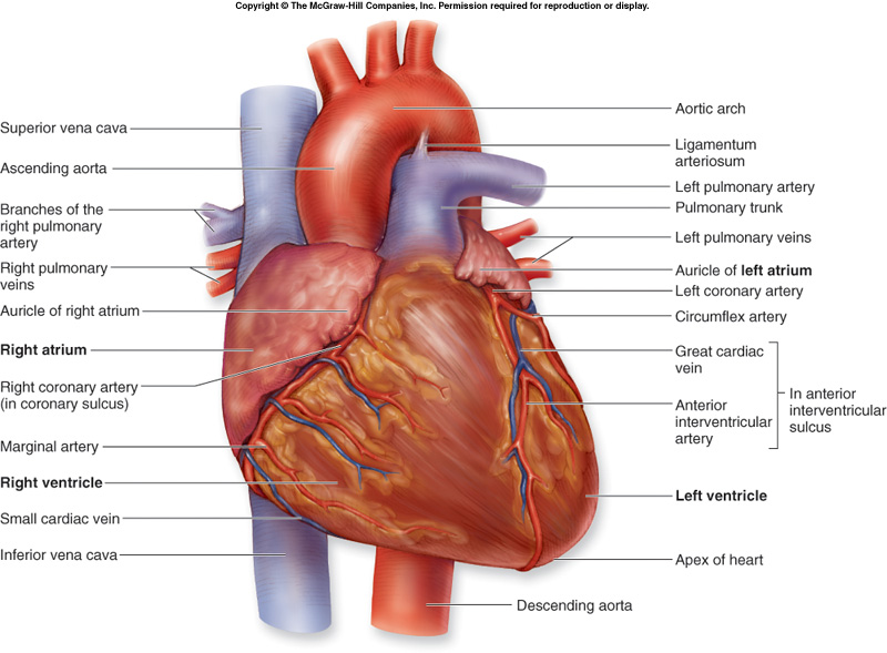 Unit 4 pbs heart 41 heart structure function ccuart Images